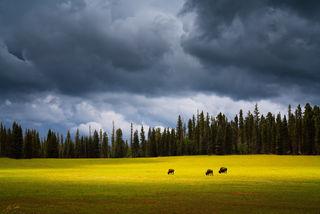 America, Animal, Arizona, Bison, Buffalo, Colorado Plateau, Grand Canyon, Meadow, Monsoon, National Park, North Rim, green