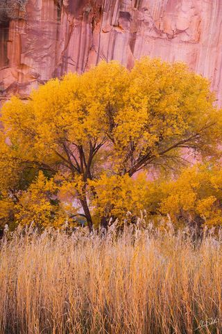 Autumn, Capitol Reef, Capitol Reef National Park, Cottonwood, Fall, Fall Color, Fall Color in Utah, Fremont Cottonwood, National Park, Trees, UT, Utah, Yellow