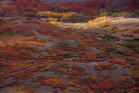 Aspen Trees, Aspens, Autumn, Autumn Foliage, Cimarron, CO, Colorado, Fall, Fall Color, Fall Foliage, Foliage, Oak Brush, San Juan Mountains, Sunlight, Trees