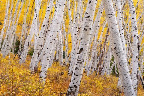 Aspen Trees, Aspens, Autumn, CO, Colorado, Colorado Fall Color, Fall, Fall Color, Fall color in Colorado, Populus tremuloides, Rocky Mountains, San Juan Mountains, Telluride, Trees, Yellow