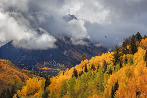 Aspen Trees, Aspens, Autumn, CO, Colorado, Fall, Fall Color, Hawk, Mount Sneffels, Red Tailed, Redtail, Rocky Mountains, Sneffels Range, Telluride, Trees, Yellow