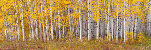 2010, Aspen Trees, Aspens, Autumn, Colorado, Fall, Fall Color, Kebler Pass, Yellow