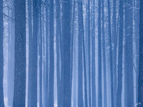AZ, Arizona, Autumn, Flagstaff, Ponderosa Pine, Snow, Trees, Winter
