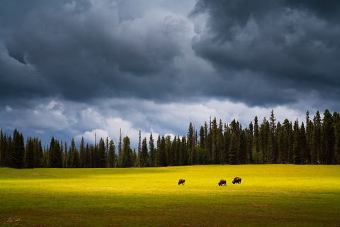America, Animal, Arizona, Bison, Buffalo, Colorado Plateau, Grand Canyon, Meadow, Monsoon, National Park, North Rim, green