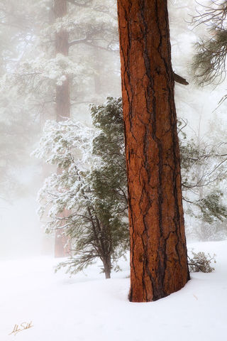 AZ, Forest, Grand Canyon, Snow, South Rim, Tree, USA, Winter, Greenway, Ponderosa