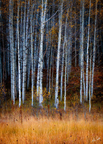 Aspen Trees, Aspens, Autumn, CO, Colorado, Crested Butte, Fall, Fall Color, Gunnison National Forest, Kebler Pass, USA