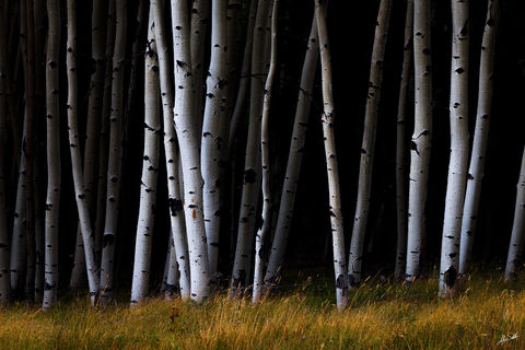 Angel Fire, Aspens, NM, New Mexico, Trees