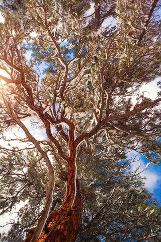 Tree, Trees, Ponderosa, Winter, Snow, Flagstaff, Arizona, AZ, Magnificent, Grand, Flagstaff