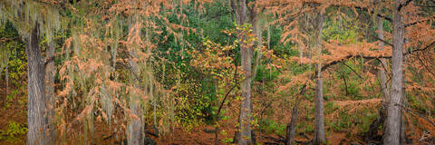 Autumn, Cypress Tree, Fall, Fuji, GFX 50R, Guadalupe River, Hill Country, Lone Star State, Pano, Panorama, Panoramic, TX, Texas, Texas Landscapes, Trees