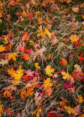 Autumn, Fall, Fall Color, Maple, Maple Leaves, National Park, Zion, Zion National Park