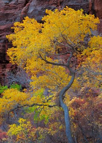 Autumn, Cottonwood, Fall, Fall Color, Fremont Cottonwood, National Park, UT, Utah, Yellow, Zion, Zion National Park