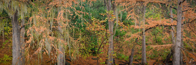 Cypress in the Hill Country Panoramic