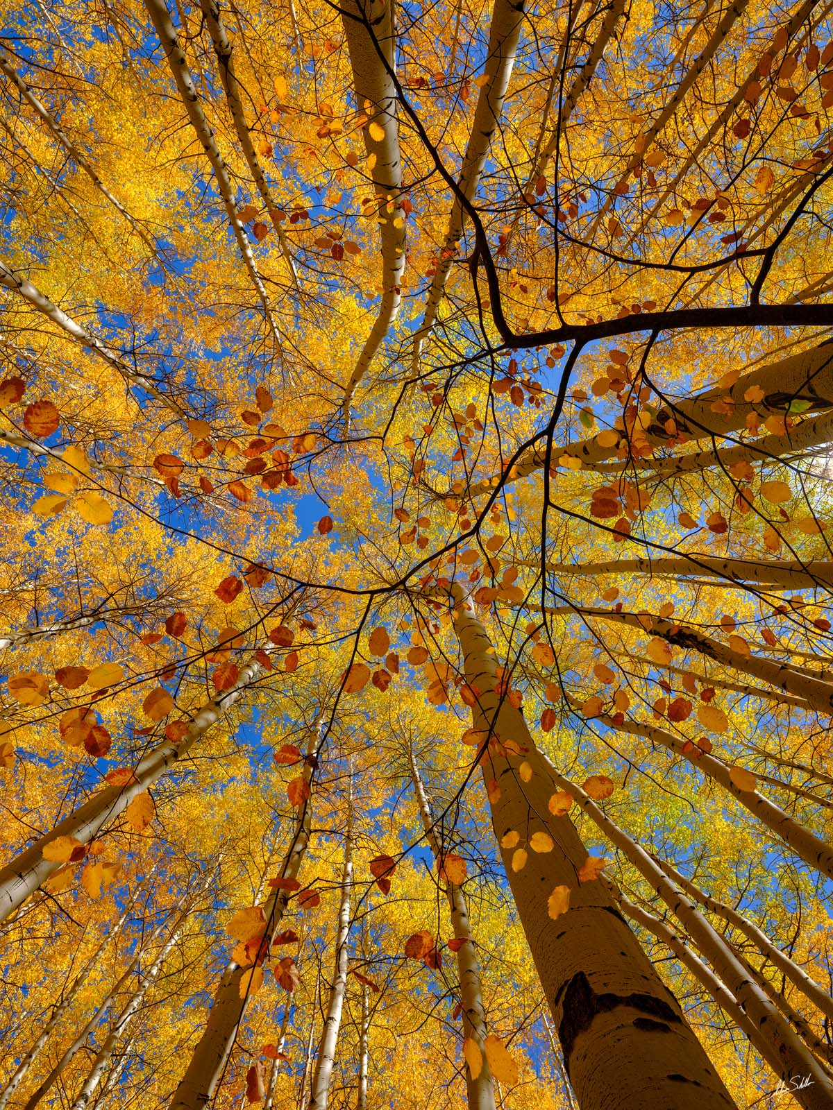 Looking up through a golden canopy of fall foliage courtesy of aspen trees in the San Juan Mountains of southwestern Colorado...