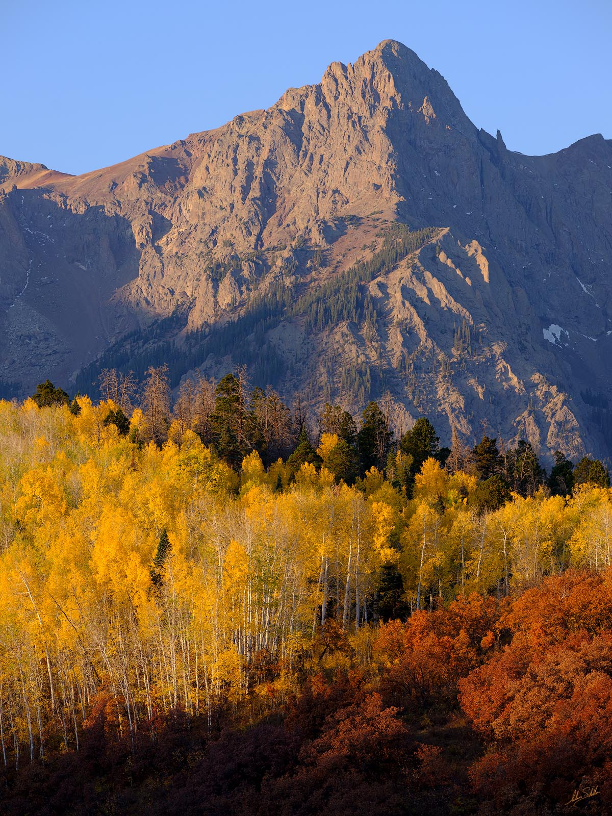 The autumn gold leaves of aspen trees appear to glow in the early morning light. From the San Juan Mountains of southwestern...