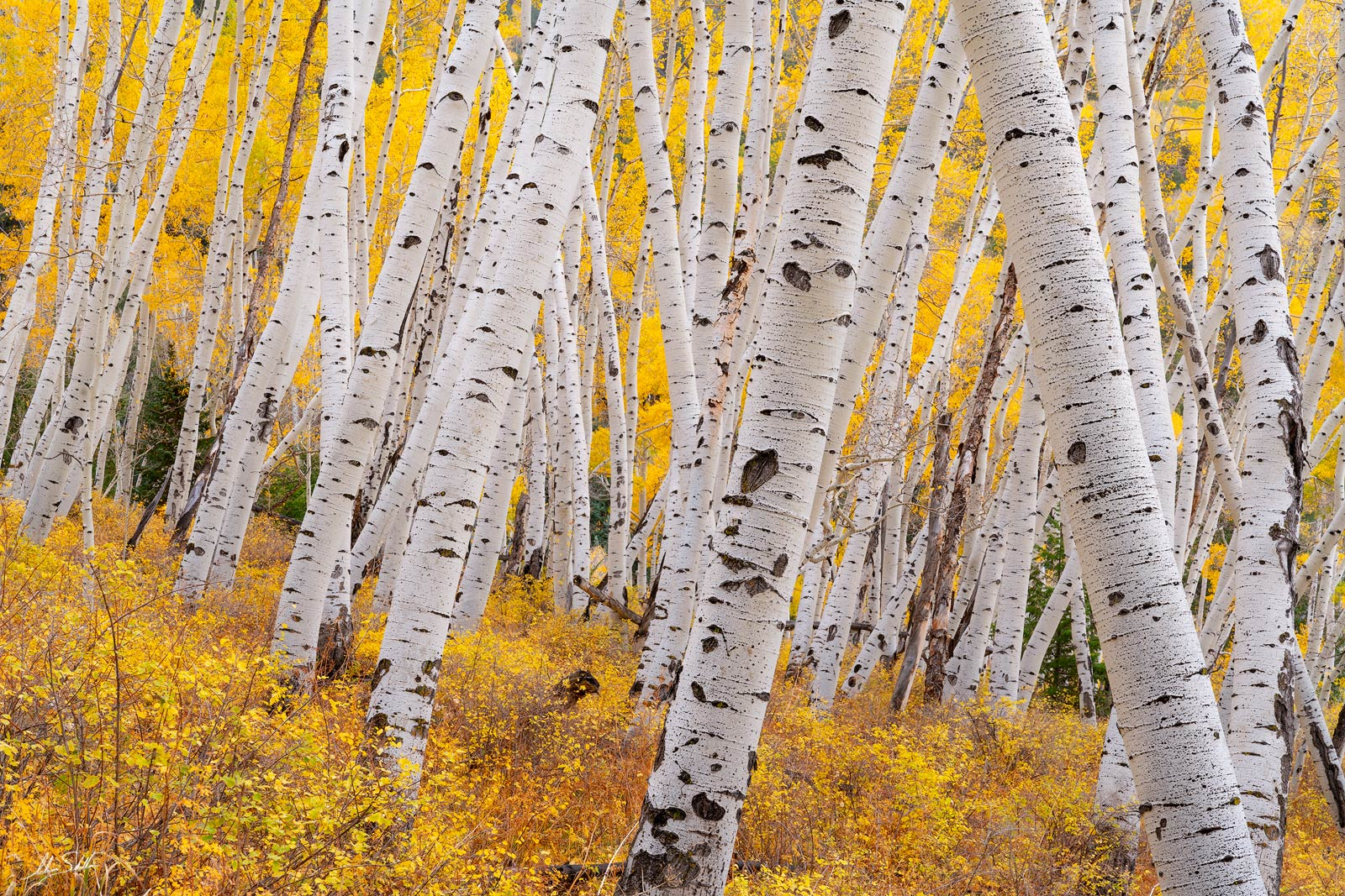 Aspen Trees, Aspens, Autumn, CO, Colorado, Colorado Fall Color, Fall, Fall Color, Fall color in Colorado, Populus tremuloides, Rocky Mountains, San Juan Mountains, Telluride, Trees, Yellow, photo