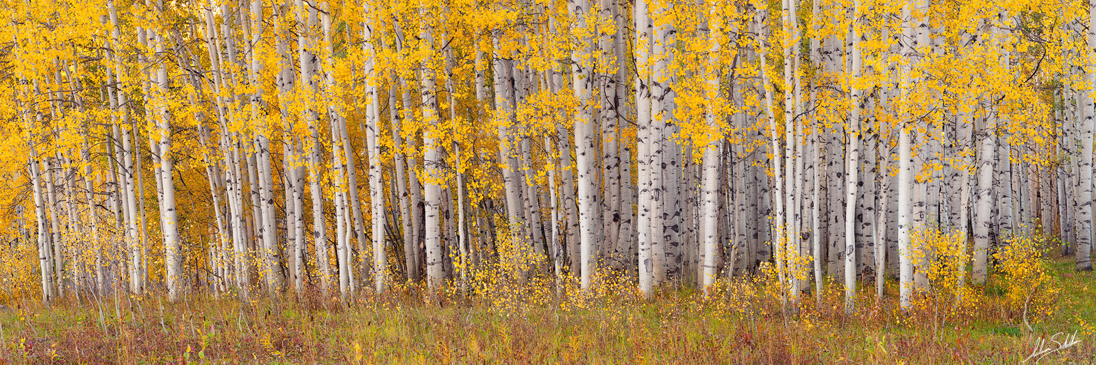 2010, Aspen Trees, Aspens, Autumn, Colorado, Fall, Fall Color, Kebler Pass, Yellow, photo