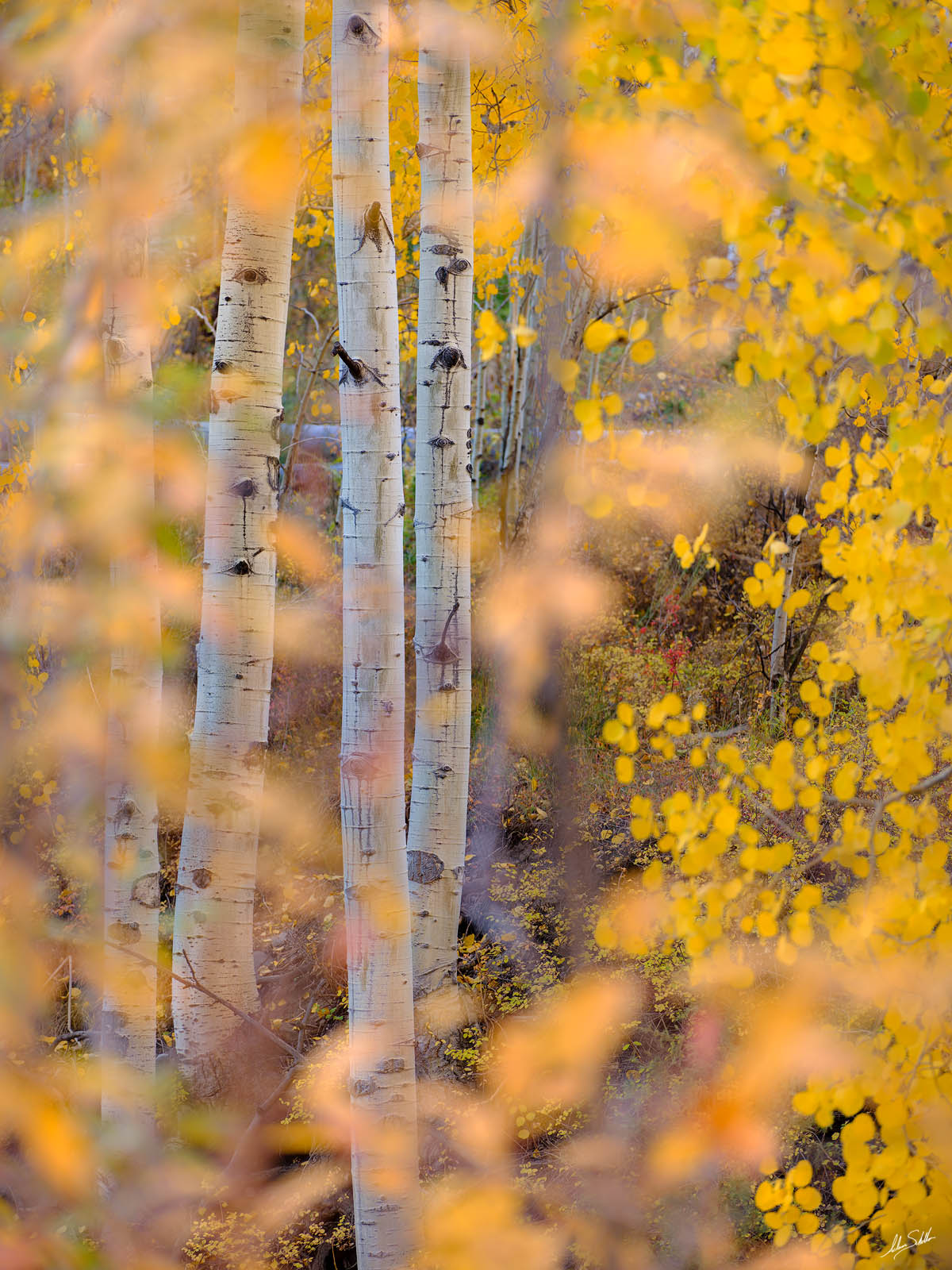 Looking through the forest of fall colors to several aspen trees in the San Juan Mountains of southwest Colorado near the town...