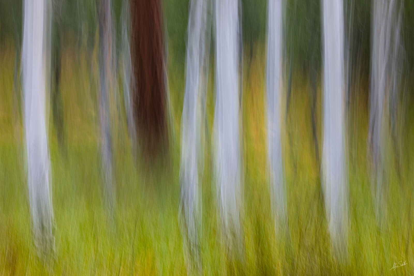 An impressionistic view of the aspen trees and summer grasses in the forest below the peaks in Flagstaff, Arizona. I created...