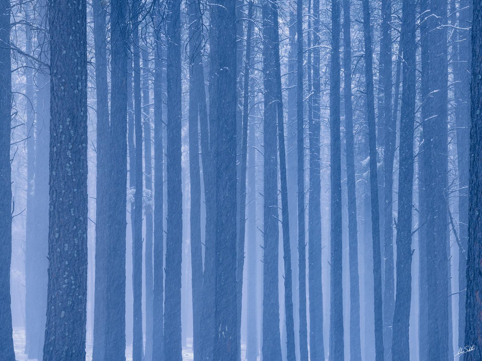 AZ, Arizona, Autumn, Flagstaff, Ponderosa Pine, Snow, Trees, Winter, photo