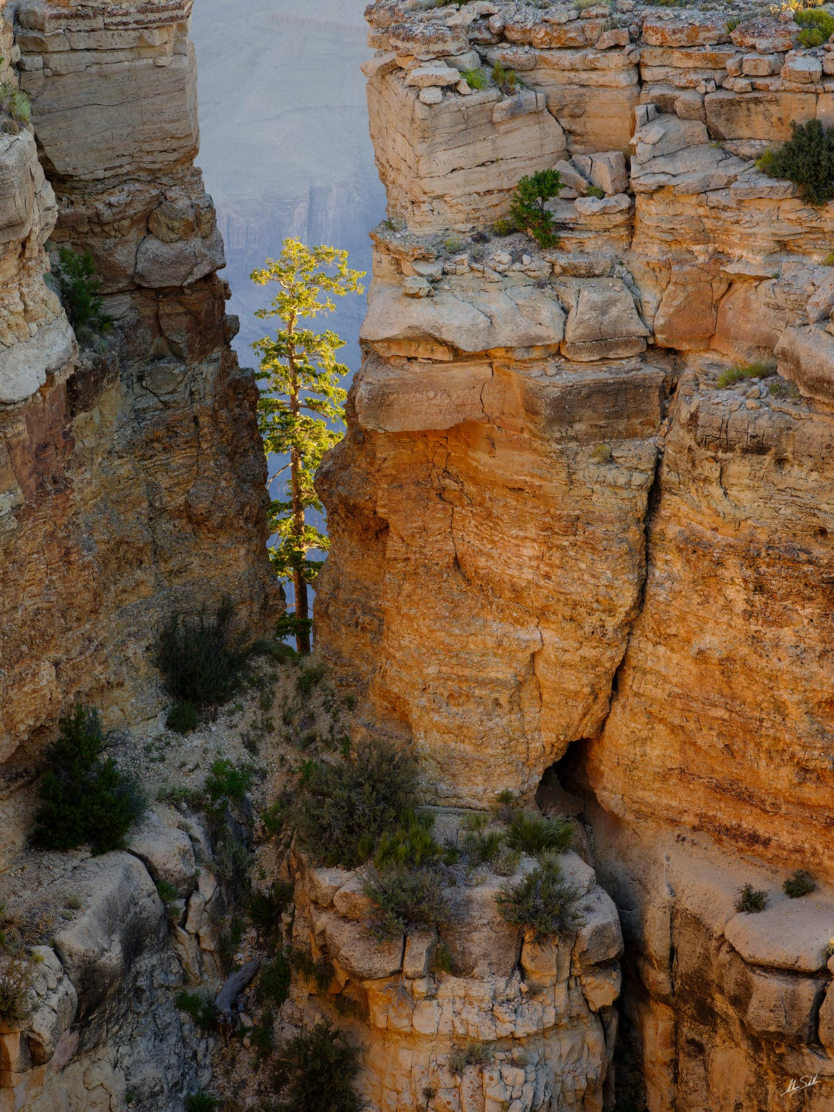 """In this stunning example of """"life finding a way"""" a lone ponderosa pine tree glows in the morning light in a crack below the rim..."""