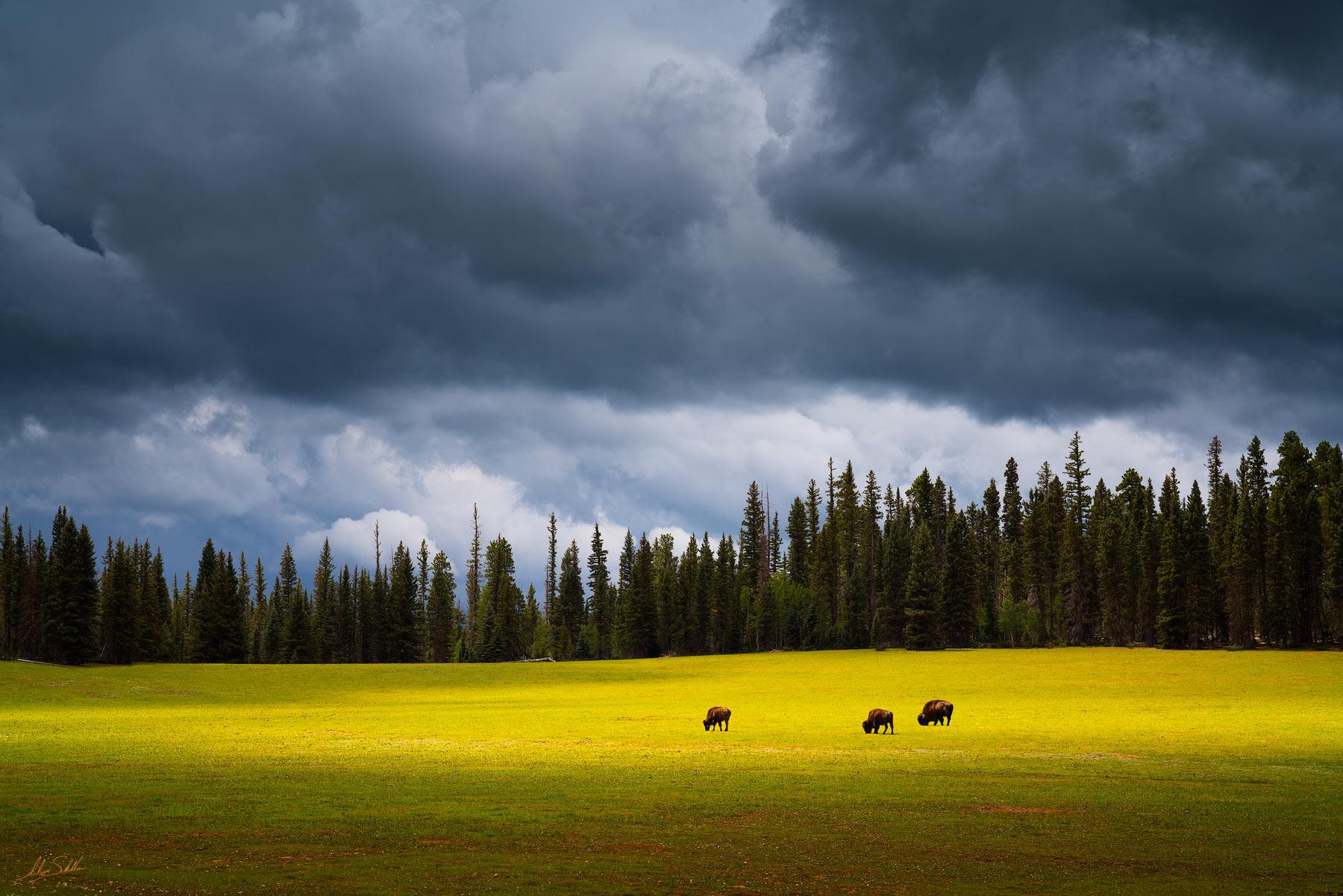 America, Animal, Arizona, Bison, Buffalo, Colorado Plateau, Grand Canyon, Meadow, Monsoon, National Park, North Rim, green, photo