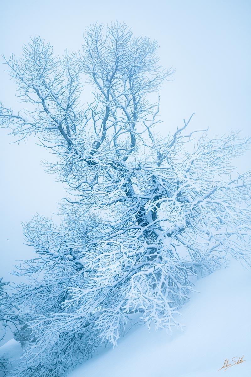 AZ, Arizona, Grand Canyon, National Park, Snow, South Rim, Tree, Winter, photo
