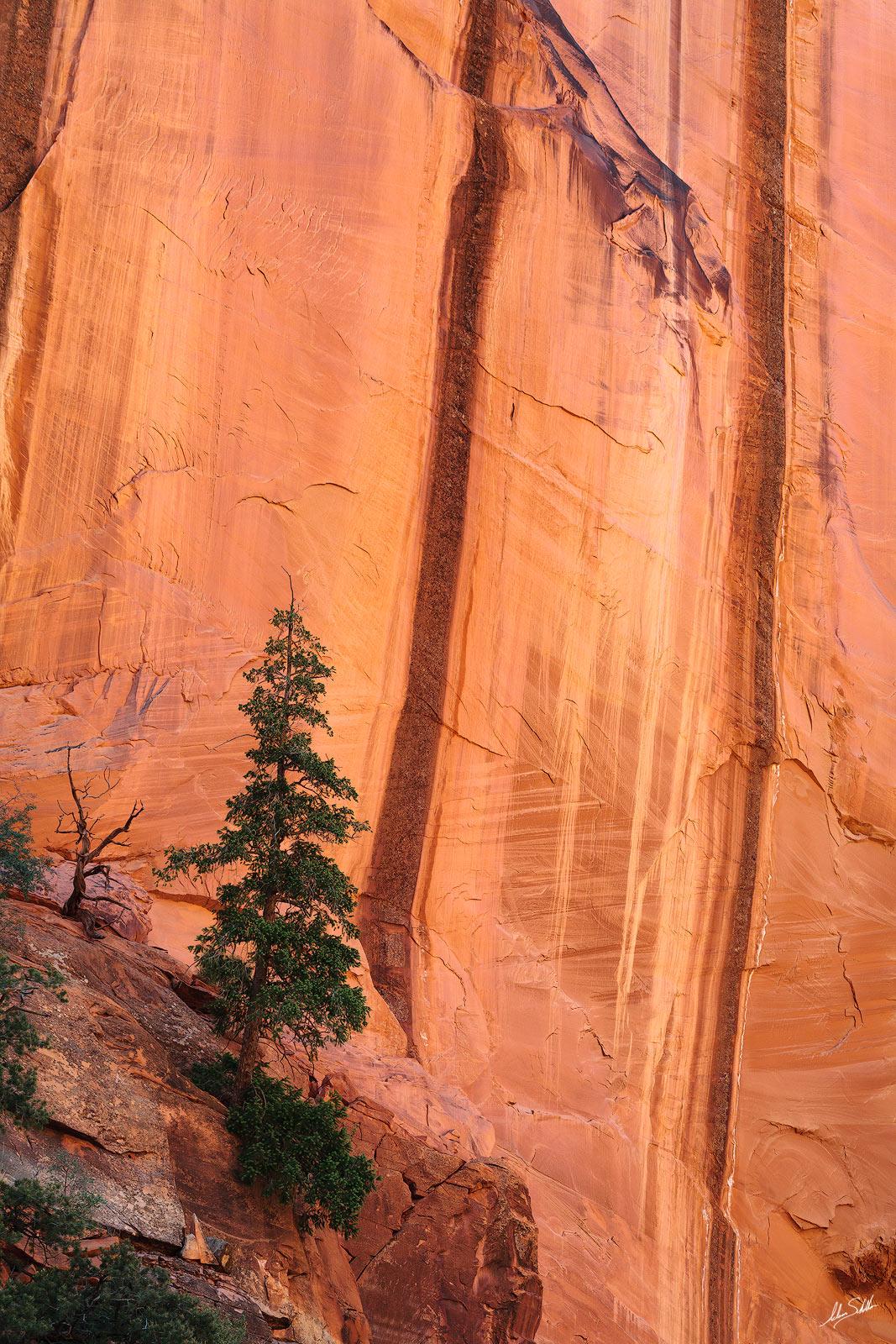 Colorado Plateau, Escalante, Tree, UT, Utah, burr trail, grand staircase, grand staircase-escalante, john burr, long canyon, photo