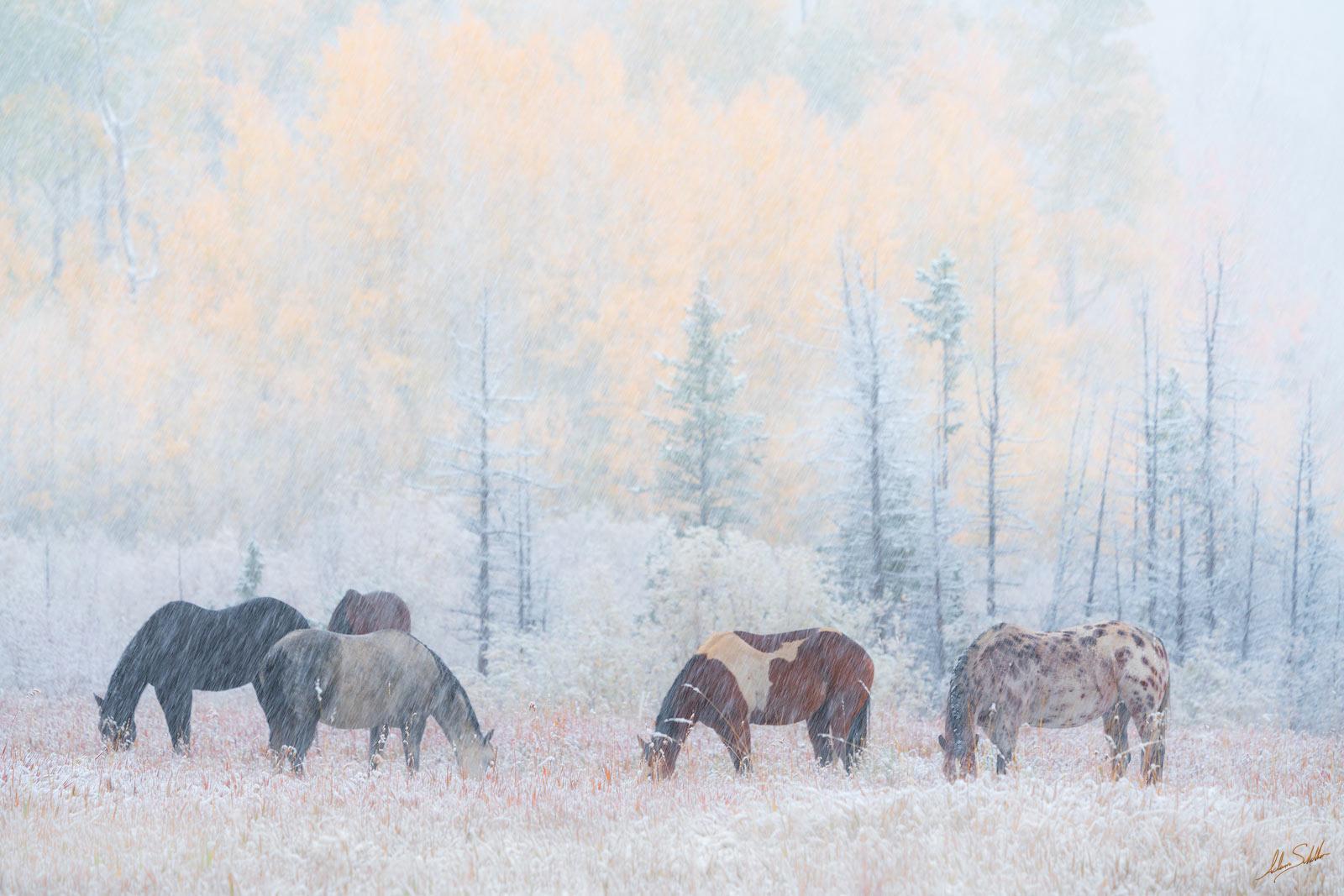 Autumn, CO, CR7, Colorado, Colorado Fall Color, County Road 7, Dallas Divide, Fall Color, Fall color in Colorado, Graze, Grazing, Horse, Horses, Horses in the snow, Ridgway, Rocky Mountains, San Juan , photo