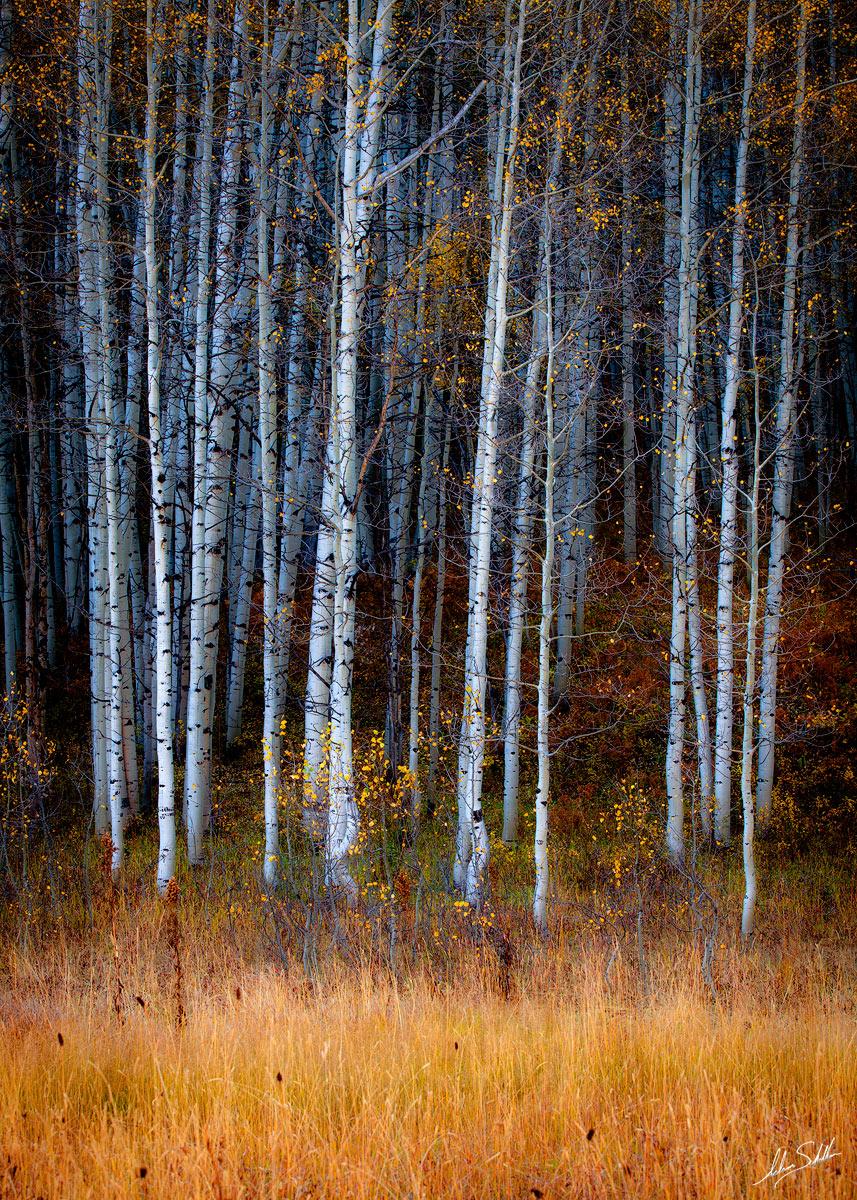 Aspen Trees, Aspens, Autumn, CO, Colorado, Crested Butte, Fall, Fall Color, Gunnison National Forest, Kebler Pass, USA, photo
