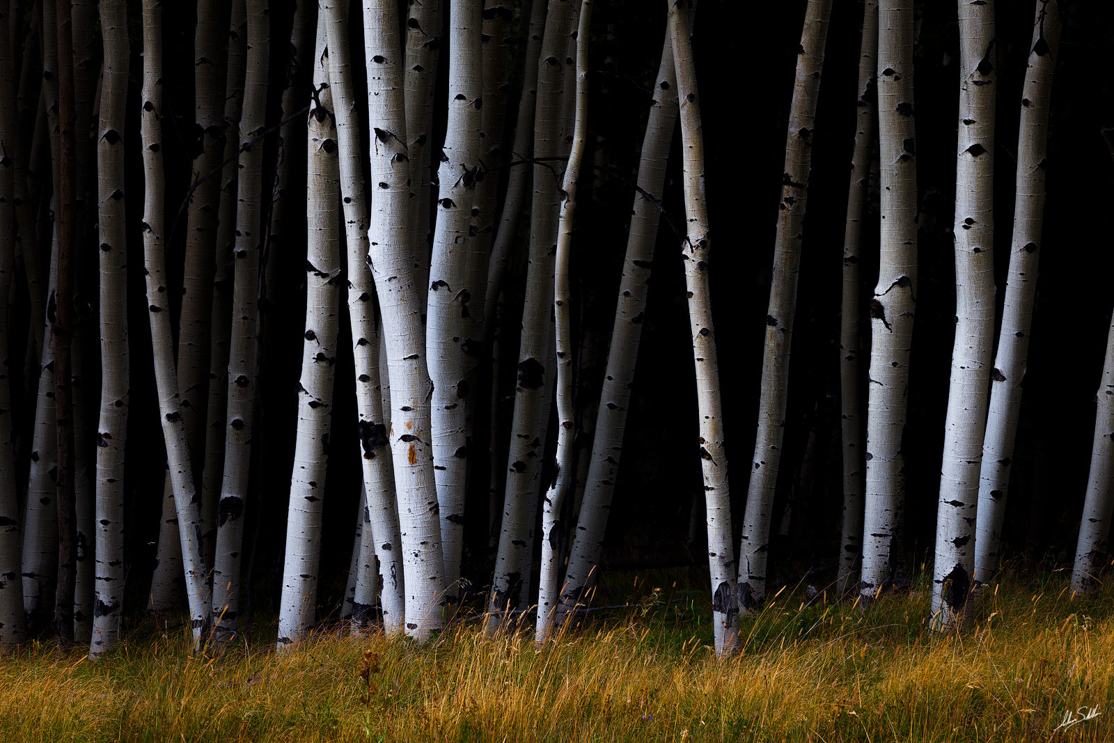 Angel Fire, Aspens, NM, New Mexico, Trees, photo