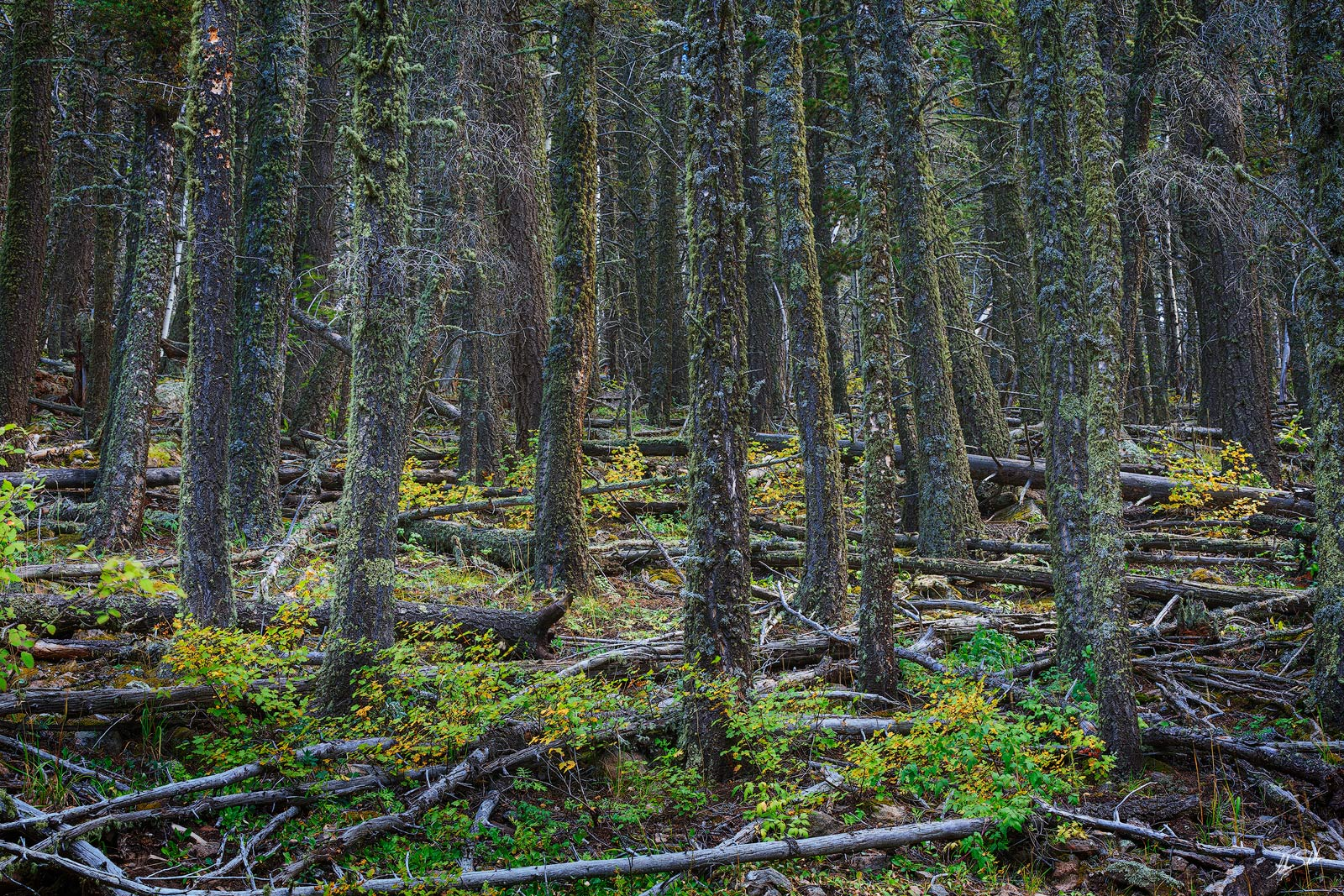 Angel Fire, Black Lake, Forest, NM, New Mexico, Tree, photo