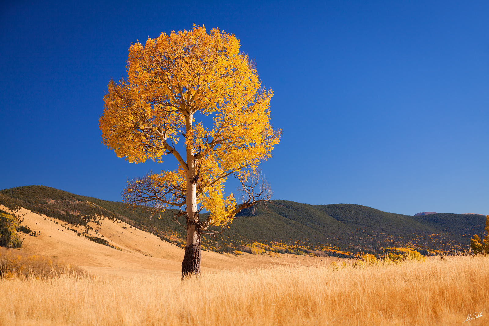 Aspen Tree, Autumn, Blue Sky, Carson National Forest, Fall, Fall Color, NM, New Mexico, Valle Vidal, photo