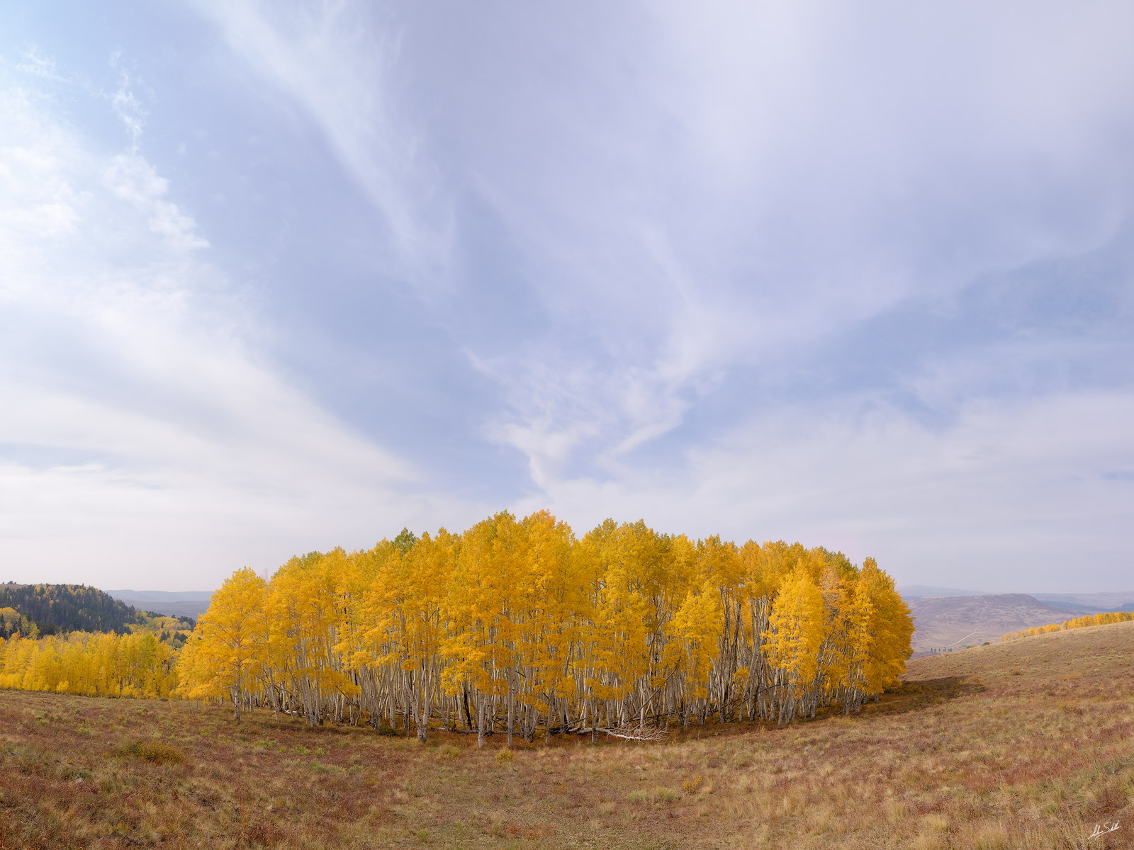 A stand of aspens with yellow leaves during fall color. From Last Dollar Road in the San Juan Mountains near Telluride, Colorado...
