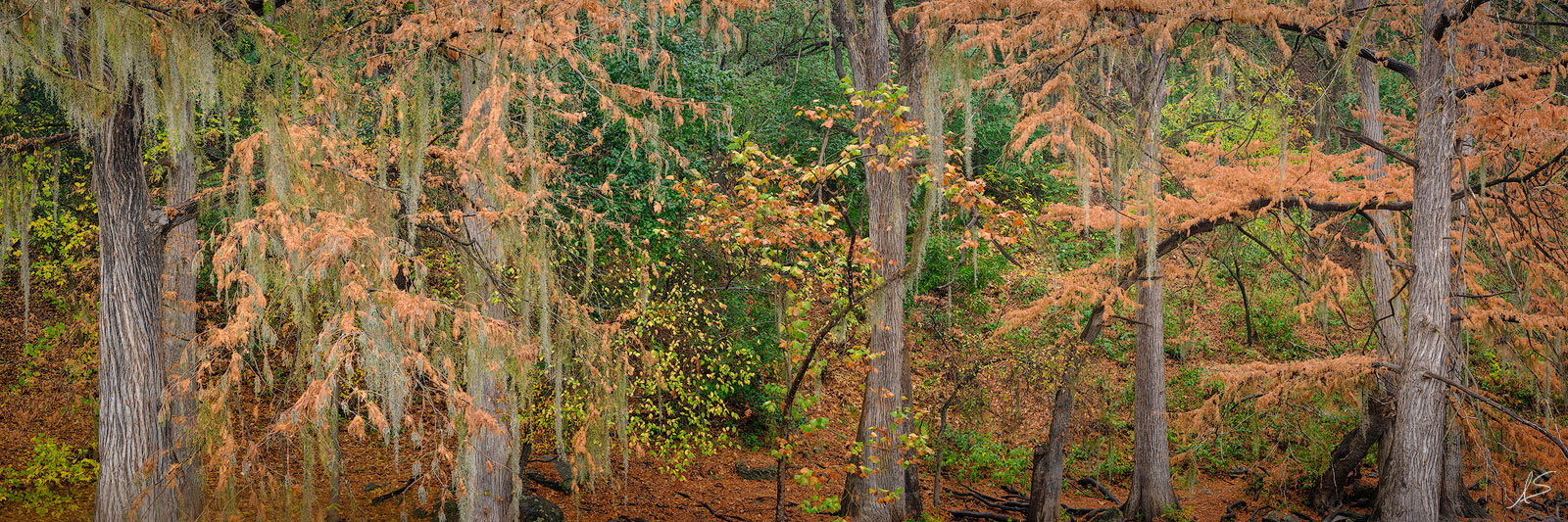 Autumn, Cypress Tree, Fall, Fuji, GFX 50R, Guadalupe River, Hill Country, Lone Star State, Pano, Panorama, Panoramic, TX, Texas, Texas Landscapes, Trees, photo