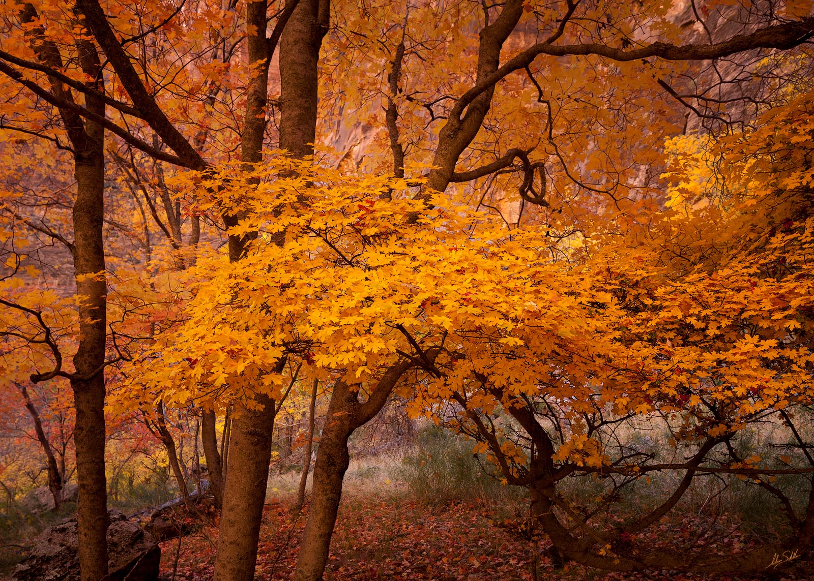 Autumn, Colorado Plateau, Fall, Fall Color, Maple Leaves, National Park, UT, Utah, Zion, Zion National Park, photo