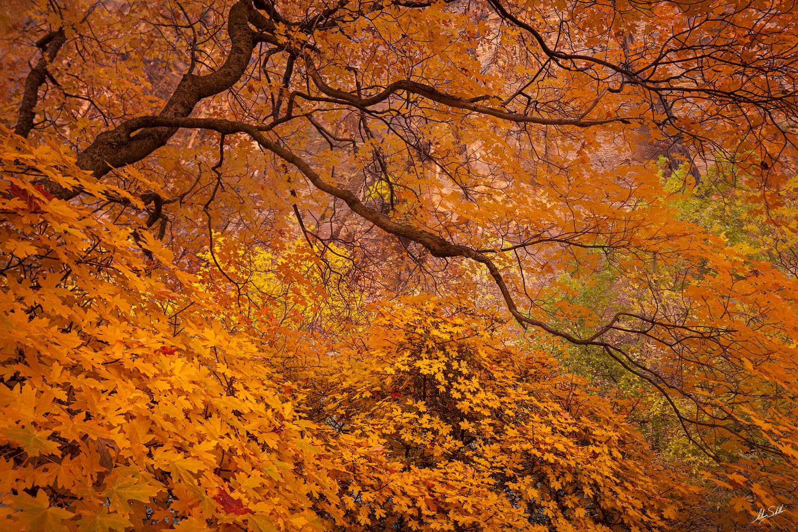 Fall color in Zion Canyon. From Zion National Park in southern Utah. © Adam Schallau, All Rights Reserved.